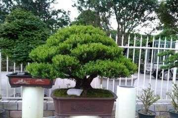黄杨盆景枝条