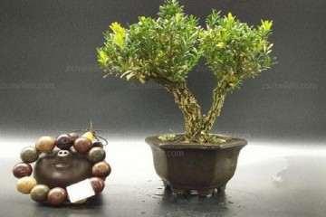 黄杨盆景上盆后怎么浇水的方法