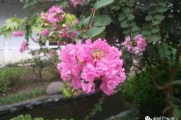 清晨 来如皋绿园看盆景花赏
