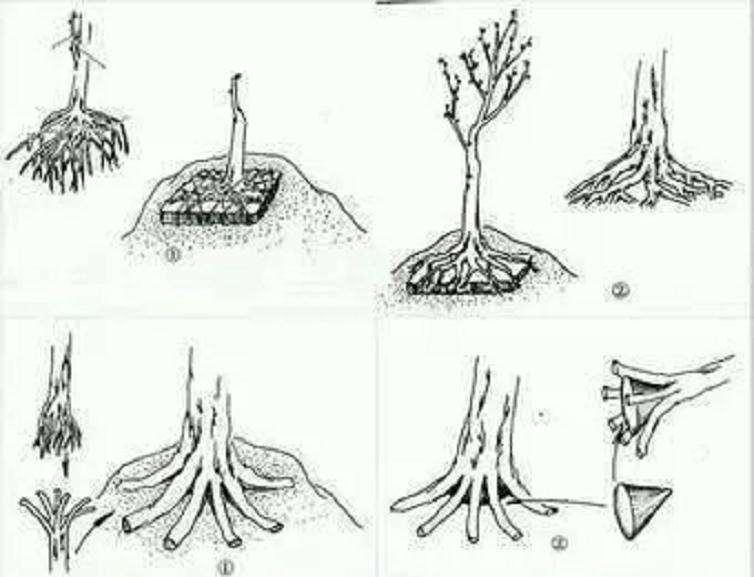 树桩盆景怎么提根造型的方法