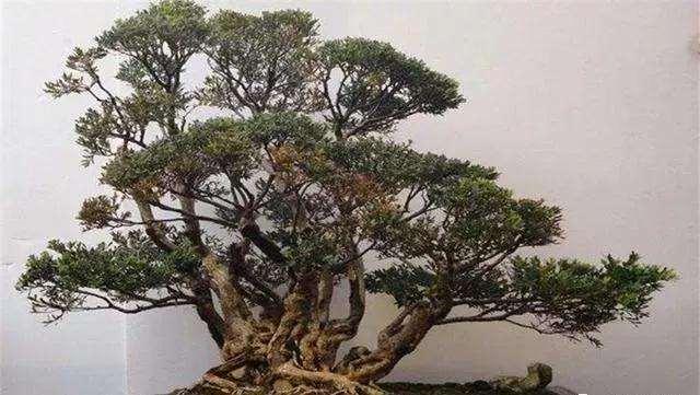 盆景枝条怎么修剪蓄枝的方法