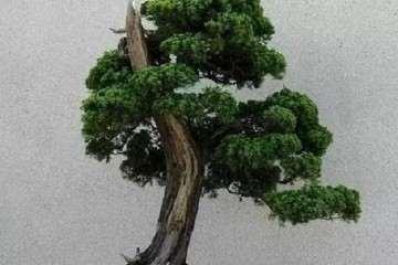 盆景怎么抹芽、摘心、摘叶及嫁接的方法