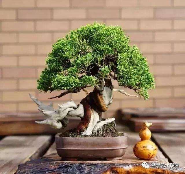 树桩盆景怎么配盆