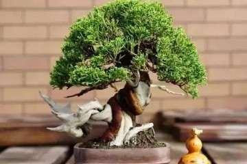 树桩盆景怎么配盆 有哪些技巧