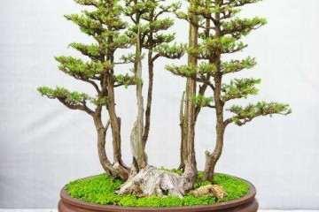 树木盆景翻盆后怎么摘叶养护