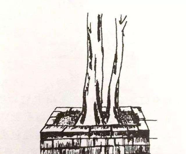 如何去套栽野生的盆景老桩