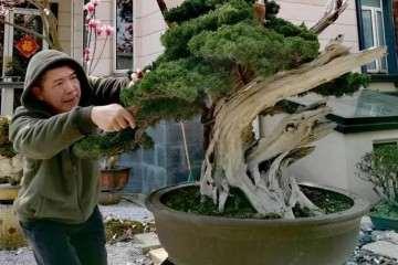 记美国盆景艺术家赵抱月先生