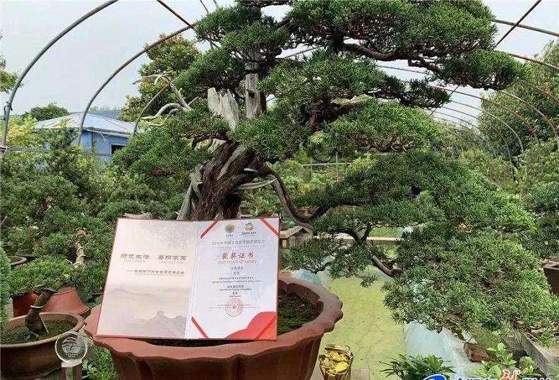 如东一村民捧回国际盆景竞赛金奖