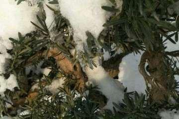 冬季下雪了罗汉松盆景会不会冻死