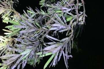 罗汉松盆景叶子成紫褐色是什么病