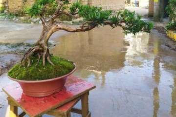 江苏罗汉松盆景露天栽种 耐寒吗