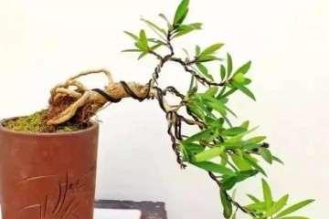 水蜡盆景怎么栽种造型的方法