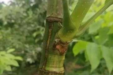 秋季砧木盆景怎么嫁接的方法