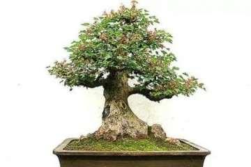 三角枫盆景为什么枝繁叶绿耐修剪