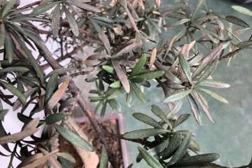 罗汉松盆景上盆没一个星期叶子就开始发枯