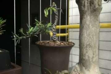 我的罗汉松盆景怎么了 叶子这么少