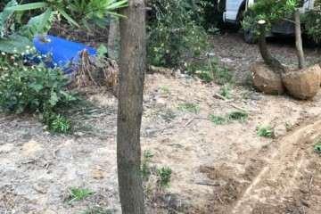 这个罗汉松盆景桩子能截短吗