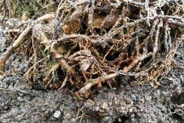罗汉松盆景根部生了念珠的颗粒 怎么办