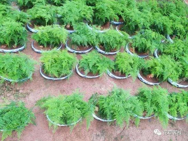 为什么文竹盆景不长新枝