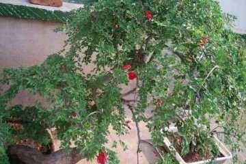 榆树盆景养了六年 死枝跟换盆有关系吗
