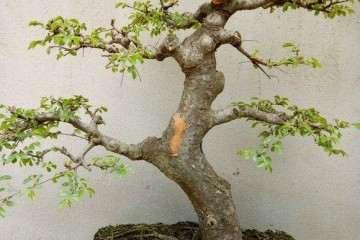 这颗榆树盆景什么样啊 价格500贵不贵