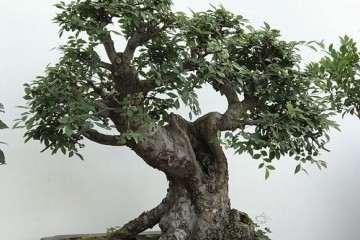 自学修剪老榆树盆景 大家觉得可以吗