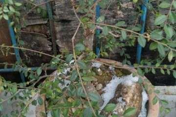 春天花市买的榆树盆景下雪叶子也没落