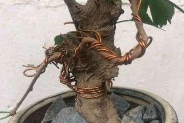 花皮榆树盆景是不是就是榔榆 大家怎么看