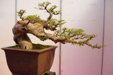 榆树盆景怎么换盆施肥的方法