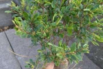 榆树盆景小矮桩怎么修剪啊