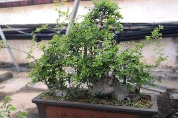 修剪了一棵榆树盆景 太乱了 求指点
