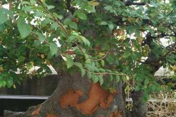 榆树盆景脱皮了 怎么回事