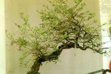 20年的榆树盆景现在换盆 重新制作