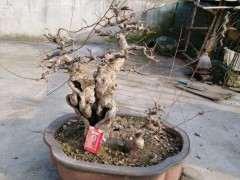 榆树下山桩用什么肥最好