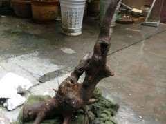 榆树下山桩跑浆后怎么套袋封口的方法