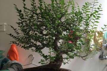 图解 榔榆盆景怎么修剪换盆的方法
