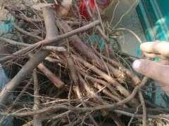 榆树下山桩的根倒栽能活吗