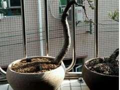 大伙们有用过赤玉土种榆树下山桩吗