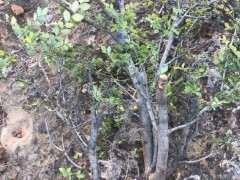 榆树下山桩为什么要用潮湿的沙土栽
