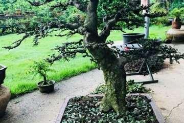 图解 榆树盆景怎么翻盘的过程