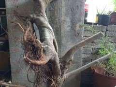 为什么榆树下山桩截口不流汁 帮忙看看