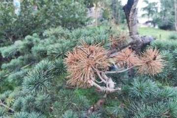 夏季黑松盆景的叶子枯萎怎么办
