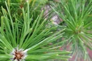 黑松盆景叶根部发白是怎么回事