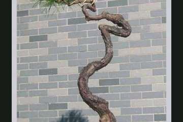 为什么室内不能养护松树盆景的3个原因