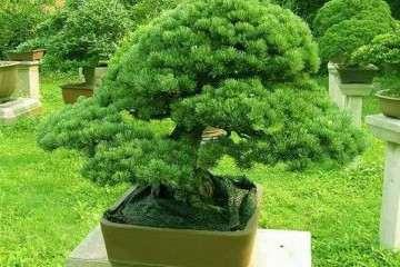 为什么松树盆景属于很难扦插树种