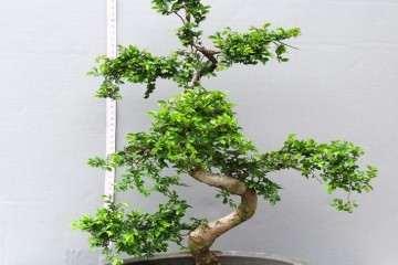 怎么催生黑松盆景的枝头发芽的方法