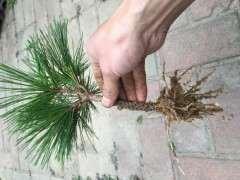 黑松下山桩枝头怎么扦插成活的方法