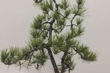 高杆黑松下面的枝是否去掉更好