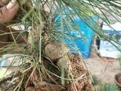 黑松下山桩修根后 用纯河沙种 透水 透气