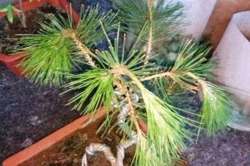黑松盆景枝叶怎么会突然下垂慢慢走向死亡